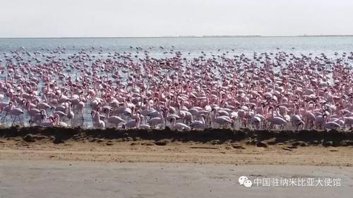 中国侨网沃尔维斯湾咸水湖的火烈鸟。